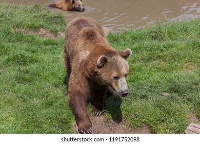 A large brown bear walking on spring grass while another brown bear swims in a pond in the distance.
