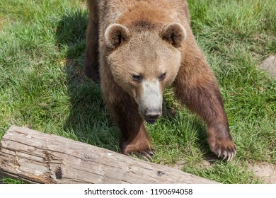 A large brown bear walking over green grass to a old log on the ground in the spring sunshine.