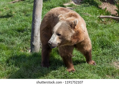 A large brown bear walking over green grass by an old log in the ground in the spring sunshine.