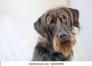 Large brown bearded dog tilting his head