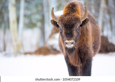 Large brown bison Wisent portrait near winter forest with snow. Herd Of European Aurochs Bison, Bison Bonasus. Nature habitat