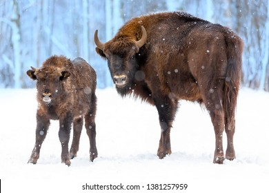 Large brown bisons Wisent family near winter forest with snow. Herd Of European Aurochs Bison, Bison Bonasus. Nature habitat. Selective focus.
