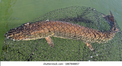 A large brown and bronze muskie fish in a large fine black net in green water on a sunny day - Shutterstock ID 1887848857