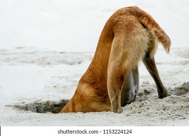 A large brown dog digs a hole in the sand on the beach