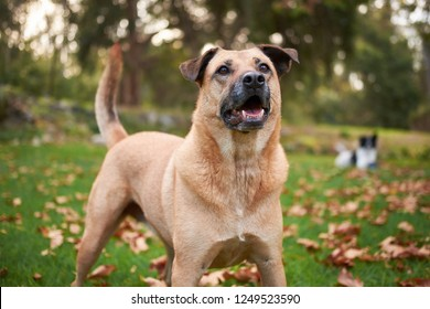 Large brown dog in garden, looking up and wagging tail.