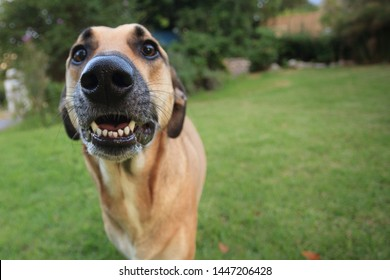 Large brown dog with her snout right up to the camera, making a silly nervous face, with blurred garden background.