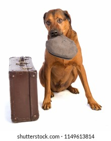 large brown dog with short hair with old suitecase is playing with cap  on white background