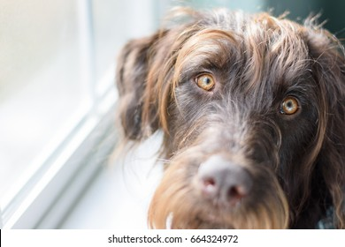 Large brown dog waits at the window