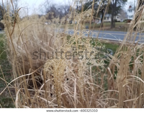 Large Brown Grasses Stock Photo Edit Now 600325310