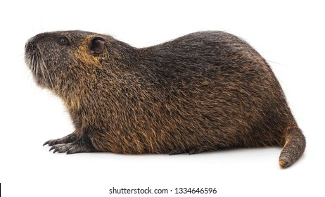 Large brown nutria isolated on a white background.