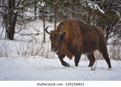 Large brown wisent in the winter forest. Wild European brown bison (Bison Bonasus) in winter. European wisent in natural habitat.