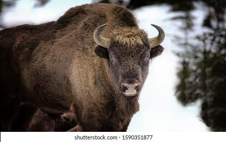 Large brown wisent in the winter forest. Wild European brown bison Bison Bonasus in winter. European wisent in natural habitat. The best photo. Bayerischer Wald. - Shutterstock ID 1590351877