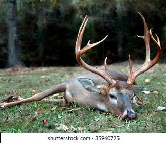 Large buck with a rack of 12 to 14 points lays on the grass with dark woods behind him.  He has been shot with a bow and arrow.