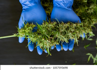 A large bud of fresh cannabis harvest in the hands of a male grover concepts of cultivating medical of marijuana