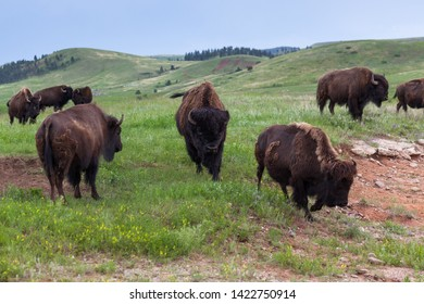 A large bull bison with a big black fur covered head is walking determinedly forward through the herd.