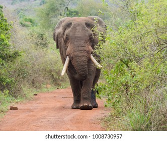 A large bull elephant walks down a road inside Akagera National Park, Rwanda