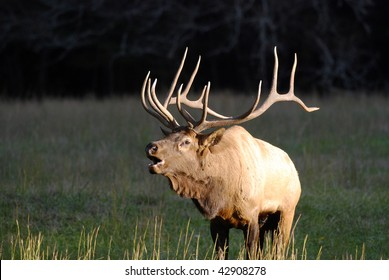 A large bull elk bugles to attract females and announce his dominance during the annual rutting season.  Image made in Great Smoky Mountain National Park