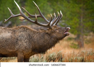 Large Bull Elk Bugling with an open mouth and exposed teeth all wet in the rain among the fir trees and high desert sage shrubs