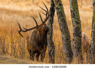 A Large Bull Elk During the Fall Rut