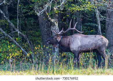 A large Bull Elk guards his females in Cataloochee Valley North Carolina.