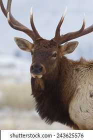 Large Bull Elk Stag, close up portrait against a natural background 7 by 7 point antlered Rocky Mountain Elk, Cervus canadensis  Montana Colorado Wyoming big game & deer hunting