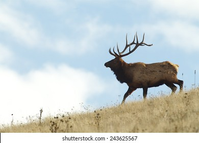 Large Bull Elk Stag walking on a grassy slope Rocky Mountain Elk, Cervus canadensis  Big game elk & deer hunting in Montana, Colorado, Oregon, Washington, Wyoming, Idaho, Utah, Nevada