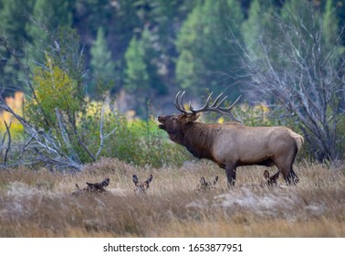 A large bull elk stands over his harem as he bugles at a challenging rival bull.