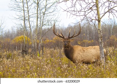 Large bull elk in a weed field on an overcast fall morning