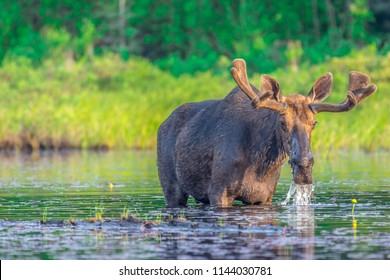 A large bull moose standing in the shallow water eating lily pads, at the edge of a lake in the early morning