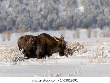 Large Bull Moose in winter snow