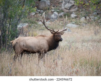 A large bull North American elk standing in an open meadow during the rut in Rocky Mountain National Park in Colorado.