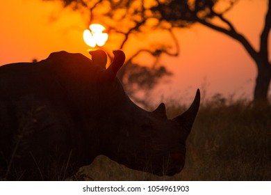 A large bull white rhino at sunset