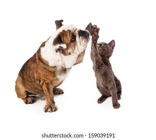 A large Bulldog and a little gray kitten raising their paws to give a friendly high five gesture. Isolated against a white backdrop