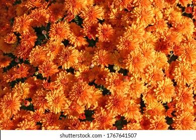 A large bunch of beautiful orange Mums