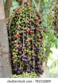 Large bunch of fishtail palm fruits hanging on tree