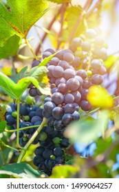 Large bunch of grapes Isabella hang from a vine, Close Up of red wine grapes. Fruit.