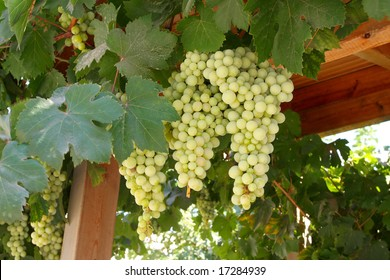 A large bunch of grapes on the island of Crete. Greece