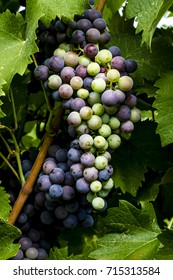 Large bunch of red wine grapes in veraison stage hanging on the vine