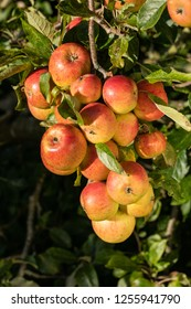 A large bunch of ripe apples hanging on a tree in morning sunlight.