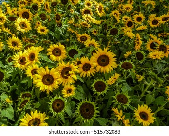 Large bunch of sunflowers creating a sea of green and yellow.