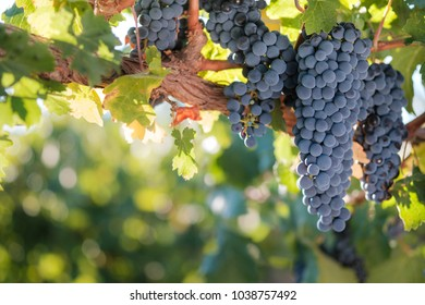 Large bunches of red grapes on old vine with back-lit summer vineyard leaves and blurred background.