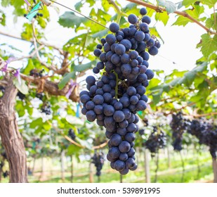 Large bunches of red wine grapes fresh from the garden