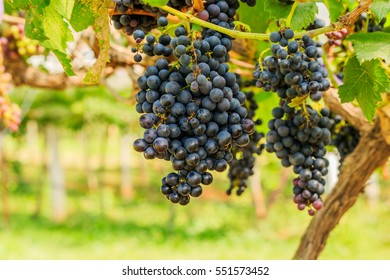 large bunches of red wine grapes hang from a vine, warm background color.