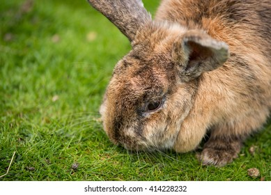 Large bunny rabbit eating some grass