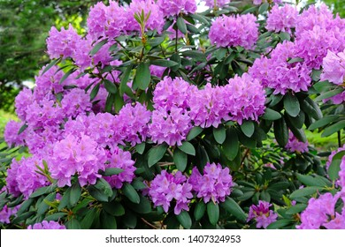 A large bush blooming Rhododendron in the botanical garden. Many pink flowers Rhododendron, beautiful background.