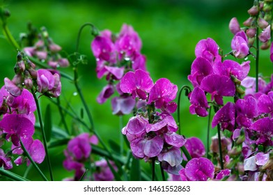 A large bush of sweet peas (Lathyrus odoratus), flowers and buds after the rain with drops on the leaves, photographed close-up