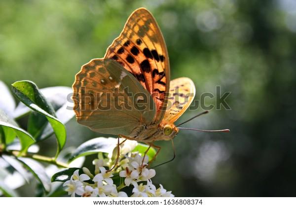 Bộ sưu tập cánh vẩy 5 Large-butterfly-argynnis-pandora-on-600w-1636808374