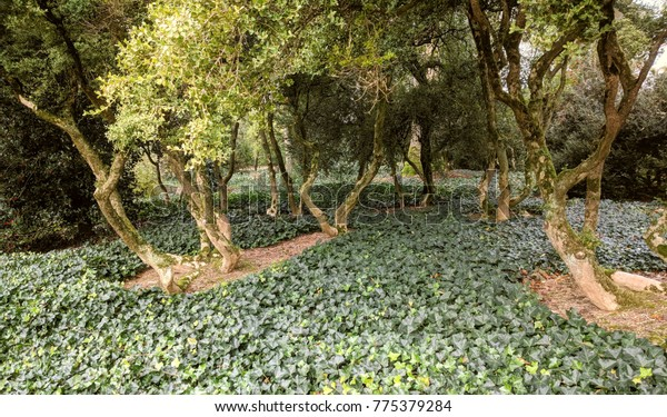 large Buxus Sempervirens growing on hedera ground cover.