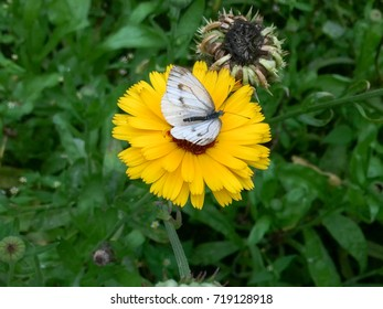 Large Cabbage White butterfly with opened wings sits on marigold flower against blurred background