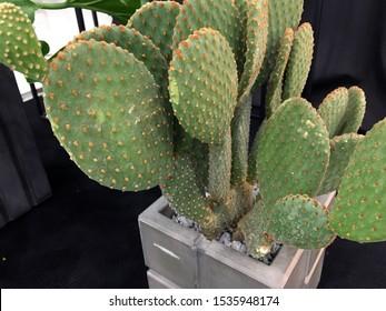 Large cactus Concrete Planter. Designer cement flower pot. Opuntia microdasys or Bunny ears cactus. Cactus in a cement pot. Concrete pot minimal style. Green plant in modern geometric concrete planter